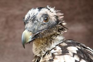 Bearded vulture. by Evey-Eyes