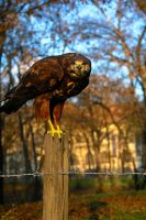 Buteo on pole by Nazareanu