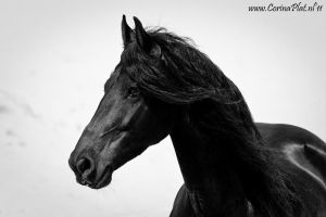 Friesian Pride by MissToseland