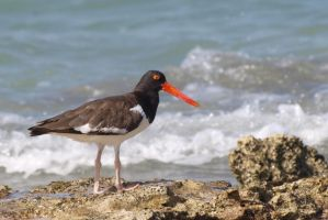 American Oyster Catcher by peterpateman