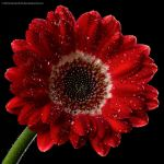 Red Gerbera by Eman333