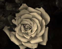 Rose in Sepia by SheDevilGoddess