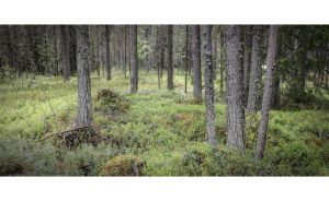 Typical Finnish Forest by wchild