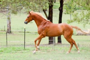 Uphill canter showing teeth by Chunga-Stock
