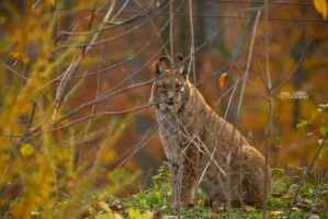 Lynx in perfect hiding by KrisSimon
