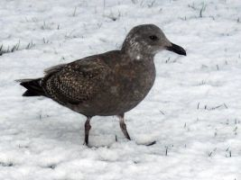 Snow Gull by Photos-By-Michelle