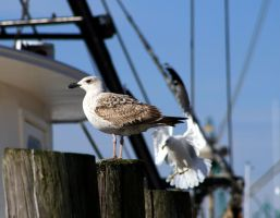 Seagull Perched by Blue-to-the-Bone