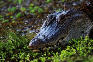 Alligator by RobertRobledo
