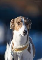 Chayenne the Lurcher by thetebe