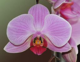 Orchid by Sandgroan