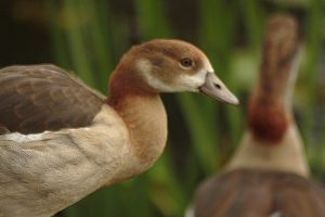 younger goose 2 by marob0501