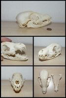 Fox Pup Skull by CabinetCuriosities