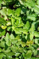 Melissa officinalis (Lemon Balm) by Fire-Fuel
