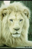 White Lion_8798 by MASOCHO