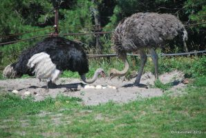 Ostrich Love Nest by meihua