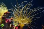 Sea anemone by AMP-20
