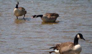 Geese 7 by Noble-Kenshi