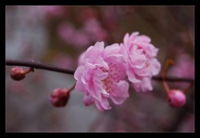 cherry blossoms II by baerin