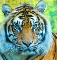 Siberian Tiger 7 by shaunthorpe