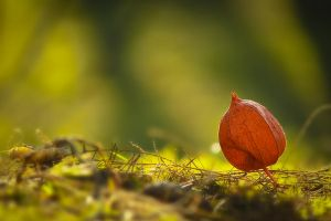Physalis 2 by Gatoon2510