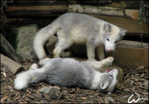 Terrible fight of baby fox by woxys