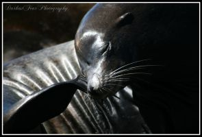 Sea Lion VI by DarkestFear