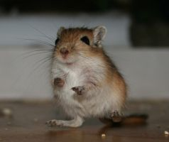 Gerbil 'Brauner' frightened by Kitanasblut