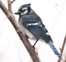 Blue Jay by Isadorrah