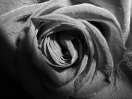 rose 1 by dibbuk