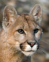 Montana Mountain Lion by leann2007