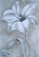 Gray Lily by valilia