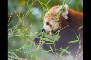 Red Panda III by darkcalypso