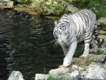 White tiger II by Cansounofargentina