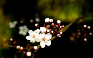 White Blossom by TPJerematic