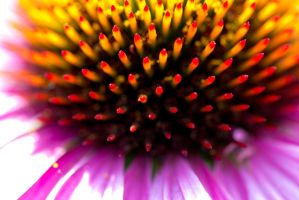 Coneflower by Cyberpriest