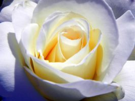 White Rose in the Sun by dmguthery
