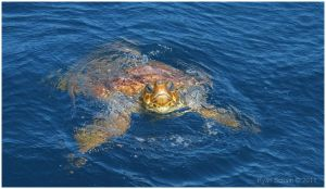 Loggerhead Sea Turtle by Ryser915