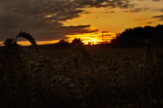 The wheat of life by darkHunTer2009