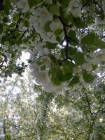 Tree flowers white by KMKramer44