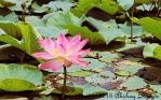 INDIAN LOTUS by aqshae