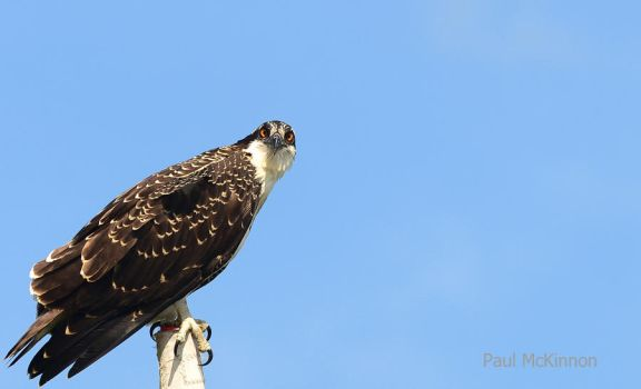 Osprey by PaulMcKinnon
