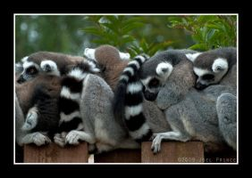 Ring Tailed Lemurs 59-109 by lomoboy