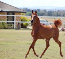 GE Arab filly chestnut trot ears pricked by Chunga-Stock
