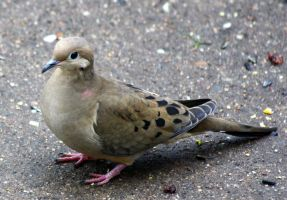 Mourning Dove by BirdyLee