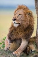 Lion of Masai Mara by 00Tiger00