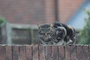Brown Tabby 1 by lucky128stocks