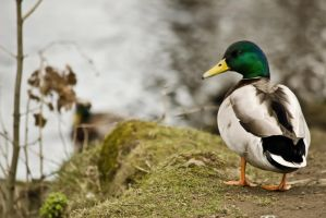 Duck by Bobbykim666