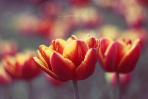 tulips by Paulinaz