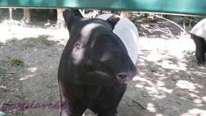 tapir close up by frogslave69