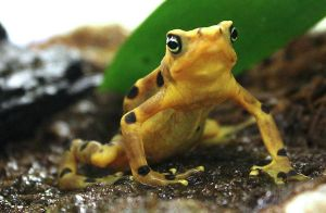Panamanian Golden Frog by charfade